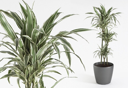 Dracaena White Strip